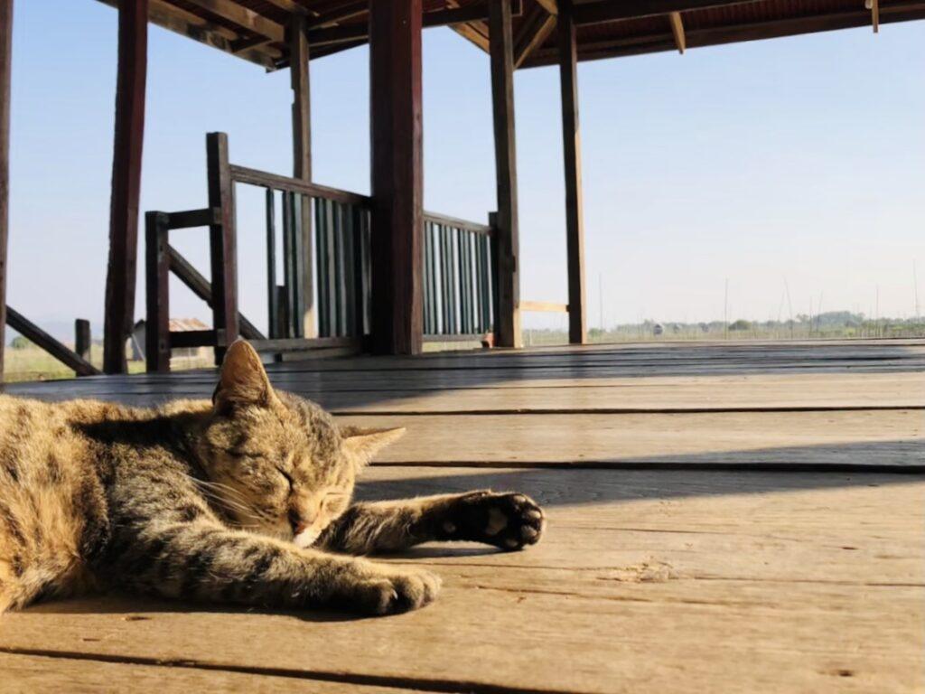 インレー湖 猫